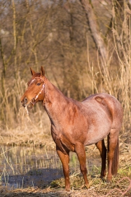 Red Roan, Quarter Horse, Pferdefotografie, Schilf