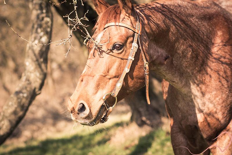Quarter Horse, Vintage, Pferdefotografie, Portrait